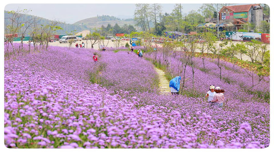 Sapa-mùa-hoa-oải-hương-tím1